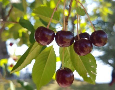 körsbär som händer i ett träd